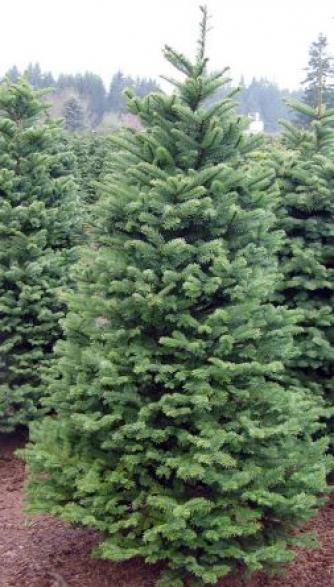 tree1 WOW! Fresh 6 8 ft Noble Christmas Trees $30 Until 11/30