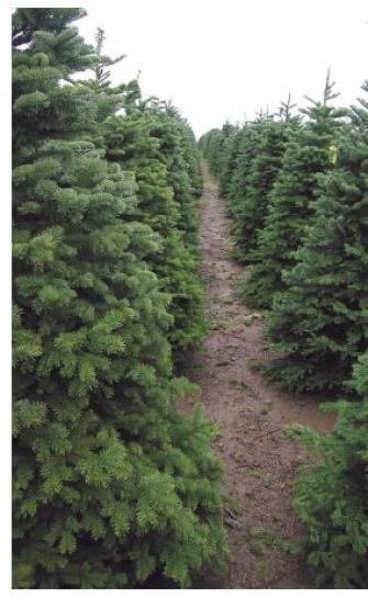 tree3 WOW! Fresh 6 8 ft Noble Christmas Trees $30 Until 11/30